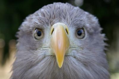 freedom,aigle,hulot,fondation nicolas hulot,pygargue,nature