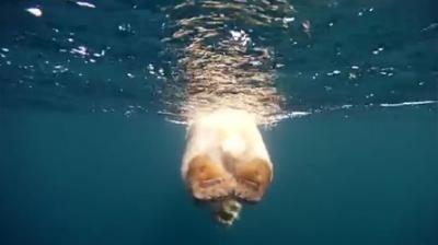 polar,bear,ours,polaire,arctique,artic,adam ravetch,mehdi bakhtiari