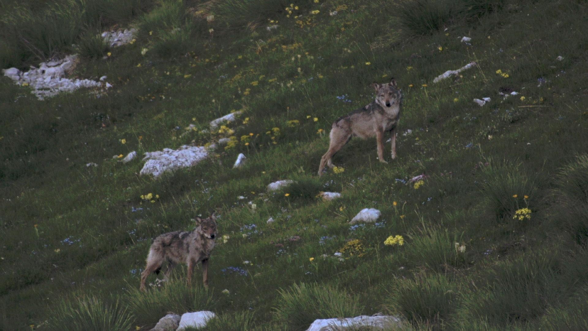 film, nature, environnement, cinéma, animal, loup, la vallée des loups, jean-michel bertrand, MC4 production