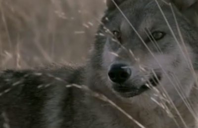Wolf-Totem-teaser-epique-du-prochain-Jean-Jacques-Annaud_reference.png