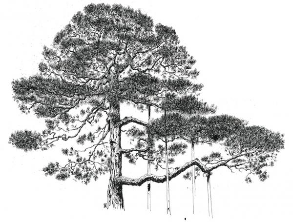 24-Cedre-Japonais-Japon-©Reno-Marca.jpg